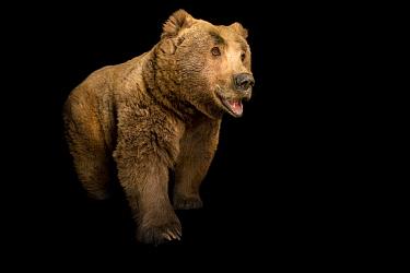 Himalayan brown bear (Ursus arctos isabellinus) at Himalayan Nature Park in Kufri, India.