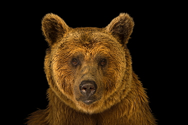 Syrian brown bear (Ursus arctos syriacus) at the Budapest Zoo. Vulnerable species.