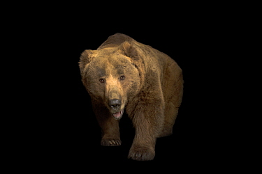 A Himalayan brown bear (Ursus arctos isabellinus) at Himalayan Nature Park in Kufri.