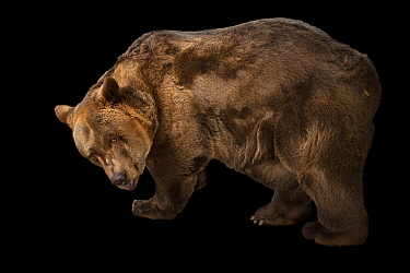 A European brown bear (Ursus arctos arctos) at Plzen Zoo in the Czech Republic. This is a male, age 40, named Pista. His parents were wild caught in Romania.
