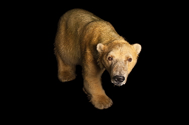 Polar bear (Ursus maritimus) at the Tulsa Zoo. Vulnerable species.