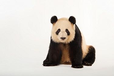 Giant panda (Ailuropoda melanoleuca) 'Lun lun' Zoo Atlanta.