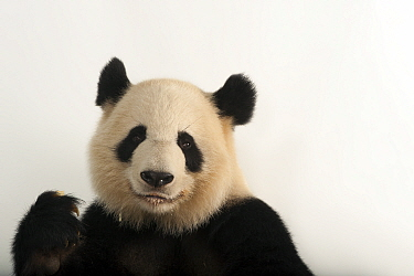 Giant panda (Ailuropoda melanoleuca) 'Lun lun' at Zoo Atlanta.
