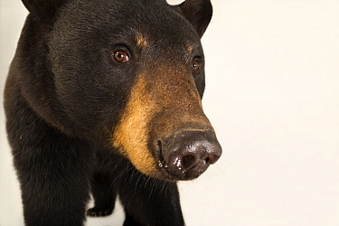 Louisiana black bear (Ursus americanus luteolus) at the Caldwell Zoo in Tyler, Texas.