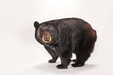 North American black bear (Ursus americanus) at Omaha Zoo's Wildlife Safari Park.