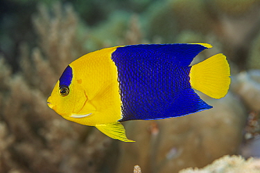 Bicolour angelfish (Centropyge bicolor) swims over a coral reef. Misool, Raja Ampat, West Papua, Indonesia. Ceram Sea. Tropical West Pacific Ocean.