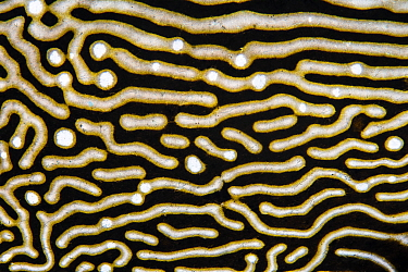 Detail of the skin pattern of Map puffer (Arothron mappa) on a coral reef. Piaynemo Island, Raja Ampat, West Papua, Indonesia. Tropical West Pacific Ocean.