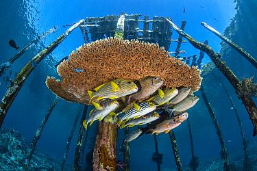 Mixed school of large fish, incliuding lined rabbitfish (Siganus lineatus), diagonal-banded sweetlips (Plectorhinchus lineatus) onespot snapper (Lutjanus monostigma), oriental sweetlips (Plectorhinchu...