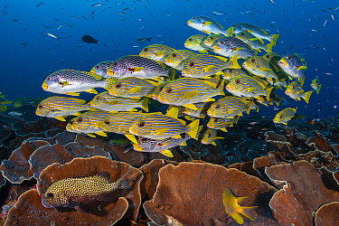 Mixed school of diagonal-banded sweetlips (Plectorhinchus lineatus) and ribbon sweetlips (Plectorhinchus polytaenia) gather above plate corals, with convict blennies (Pholidichthys leucotaenia). Saund...