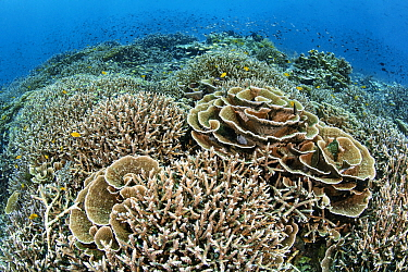 Rich coral garden with hard corals (plate coral: Montipora sp.; staghorn coral: Acropora sp.) and lots of Lemon damselfish (Pomacentrus moluccensis). Ruvus Island, Piaynemo Island, Raja Ampat, West Pa...