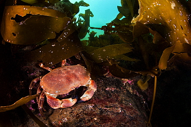 Edible crab (Cancer pagurus) beneath kelp (Laminaria sp.). Lochcarron, Ross-shire, Ross and Cromarty, Highlands, Scotland, United Kingdom. British Isles. Loch Carron, North East Atlantic Ocean.