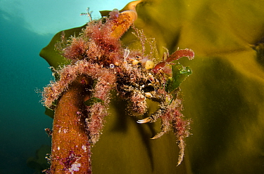 Great spider crab (Hyas araneus) covered in algae, climbing up onto a frond of kelp (Laminaria hyperborea). Lochcarron, Ross-shire, Ross and Cromarty, Highlands, Scotland, United Kingdom. British Isle...