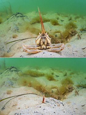 Two photos of a masked crab (Corystes cassivelaunus) - sitting on a sandy seabed and buried within the sand, where it uses its antennae as a snorkel. in Studland Bay, Dorset, England. British Isles. E...