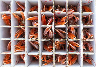 Catch of Norway lobster / Langoustine ( Nephrops norvegicus) packed into individual containers, photographed on a fishing boat. Kinlochbervie, Sutherland, The Highlands, Scotland, United Kingdom. Loch...