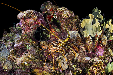 Spotted spiny lobster (Panulirus guttatus) crawling over a coral reef at night. East End, Grand Cayman, Cayman Islands, British West Indies. Caribbean Sea.