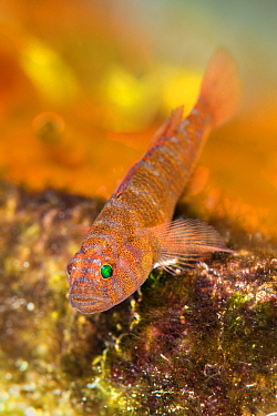 Rusty goby (Priolepis hipoliti) hiding in an overhang of a coral reef. West Bay, Grand Cayman, Cayman Islands, British West Indies. Caribbean Sea.