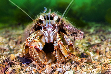 RF - Common hermit crab (Pagurus bernhardus) scuttles over the seabed. Highlands, Scotland, United Kingdom. (This image may be licensed either as rights managed or royalty free.)