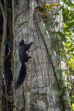 Prevost's squirrel (Callosciurus prevostii) climbs a vine. Sabah, Malaysian Borneo