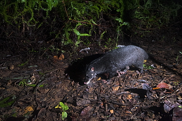 Otter civet (Cynogale bennettii) walkings along a forest trail. Sabah, Malaysian Borneo
