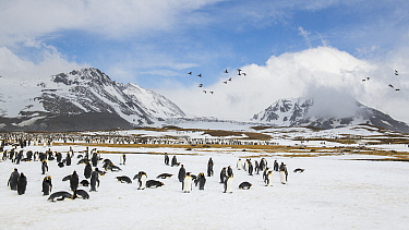 King penguins (Aptenodytes patagonicus) congregate to rest, while a flock of South Georgia pintail (Anas georgica georgica) fly overhead. St Andrew's Bay, South Georgia Island