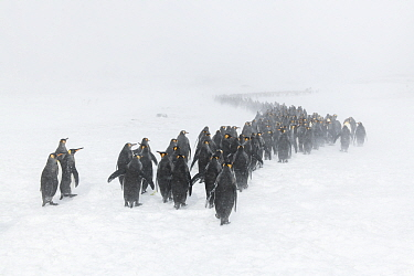 King penguins (Aptenodytes patagonicus) gather in winding columns seeking shelter, as winds blow spindrift and a blizzard sets in. St Andrew's Bay, South Georgia Island