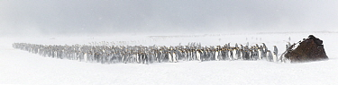 King penguins (Aptenodytes patagonicus) seek shelter behind a large rock that serves as a windbreak, as winds blow spindrift and a blizzard sets in. St Andrew's Bay, South Georgia Island