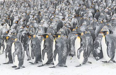King penguins (Aptenodytes patagonicus) gather in a tight group, seeking shelter from each other during a blizzard. Occasionally the upwind birds, bearing the worst of the storm, relocate on the outsi...