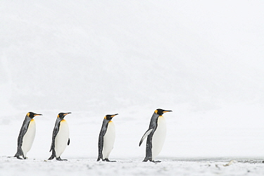 King penguins (Aptenodytes patagonicus) commute to their breeding colony during a snow storm. St Andrew's Bay, South Georgia Island