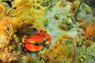 A Batwing or Queen crab (Carpilius corallinus) among corals, The Gardens of the Queen, Cuba, Caribbean Sea.