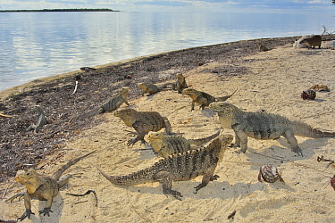 Cuban rock iguanas (Cyclura nubila) and Caribbean hermit crabs (Coenobita clypeatus) on the beach with a Desmarest's hutia (Capromys pilorides), a species of rodent, in the background, Gardens of...