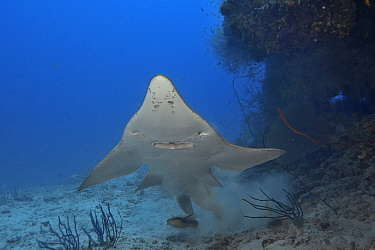 Giant guitarfish / Whitespotted wedgefish (Rhynchobatus djiddensis) swimming up from resting on the sea floor, Indian Ocean, Maldives.