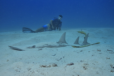 Diver watching a Giant guitarfish / Whitespotted wedgefish (Rhynchobatus djiddensis) partially buried in the sand with two remoras (Echeneis naucrates), Indian Ocean, Maldives. Model released.