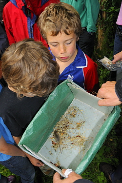 Children looking at young Wood mouse / Long-tailed field mouse (Apodemus sylvaticus) live-trapped during a Bioblitz survey at Abbots Pool and woodland reserve, Bristol, UK, June 2012. Model released