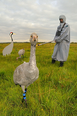 Two recently released young Common / Eurasian cranes (Grus grus), one standing and one feeding on grain scattered near an adult crane model, alongside a carer wearing a crane costume acting as a surro...