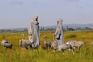 Group of recently released young Common / Eurasian cranes (Grus grus) feeding on grain scattered around an adult crane model alongside two carers in crane costumes acting as surrogate parents, Somerse...