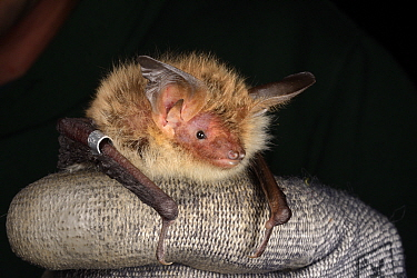 Ringed Bechstein's bat (Myotis bechsteinii), a rare, endangered species of ancient woodlands in the UK, held during an autumn swarming survey run by the Wiltshire Bat Group, near Box, Wiltshire, UK, S...