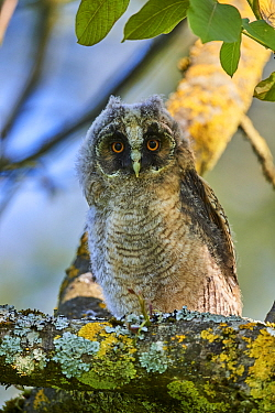 Long-eared owl chick (Asio otus) perched in tree. Alsace. France.