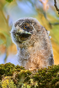 Long-eared owl chick (Asio otus) perched in tree, head turned to one side, Alsace. France.