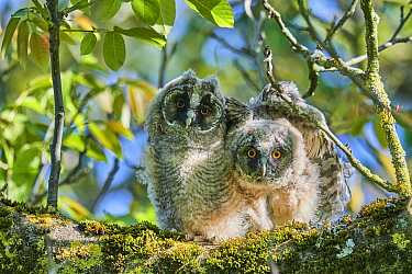 Two Long-eared owl chick (Asio otus) perched in tree. Alsace. France.