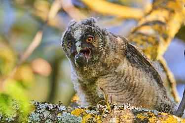 Long-eared owl chick regurgitating pellet (Asio otus) perched in tree. Alsace. France.