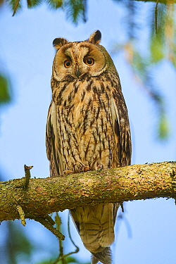 Long-eared owl (Asio otus) perched in tree. Alsace. France.