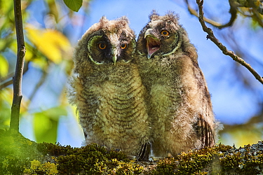 Long-eared owl (Asio otus) chicks, perched in tree. Alsace. France.