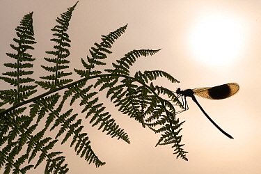RF - Banded demoiselle (Calopteryx spendens) male resting on fern and silhouetted against the rising sun, Lower Tamar Lake, Cornwall, UK. June . (This image may be licensed either as rights managed or...