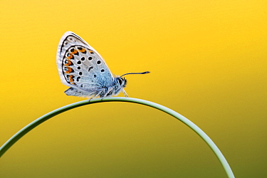 Silver-studded blue butterfly (Plebejus argus) resting on grass, Upton Towans, Cornwall, UK. June .