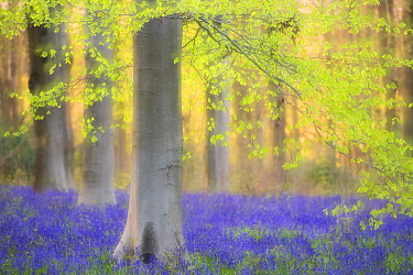 RF - Beech trees (Fagus sylvatica) and english bluebells (Hyacinthoides non-scripta). Late evening light and double exposure to create soft, dreamy effect. West Woods, nr Marlborough, Wiltshire, UK. M...