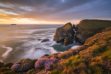 RF - Gunver Head, near Longcarrow Cove, golden evening light and flowering sea pinks/thrift (Armeria maritima), Trevone, Cornwall, UK. May 2021. (This image may be licensed either as rights managed or...