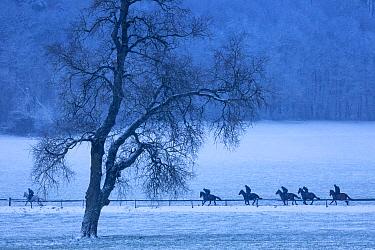 Race horses on exercise in the snow, Venn Farm, Milborne Port, Somerset, England, UK. February 2019.