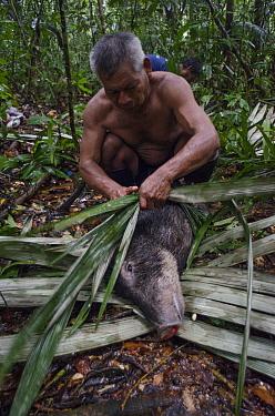 White-lipped peccary (Tayassu pecari) and hunter, Maijuna Indigenous Community, Rainforest, Sucusari, Rio Napo, Loreto, Peru.. Medium repro only. January 2013.