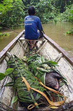 White-lipped peccary (Tayassu pecari) dead in hunter's canoe, Maijuna Indigenous Community, Rainforest, Sucusari, Rio Napo, Loreto, Peru. January 2013. Medium repro only.