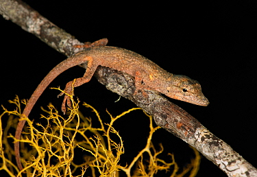 """Anolis placidus dwells in the wet broadleaf forests of Sierra de Neyba. It is ocnsidered a """"twig anole"""" since it prefers to live on the twig of branches. Curiously, twig anoles have prehensile tails t..."""